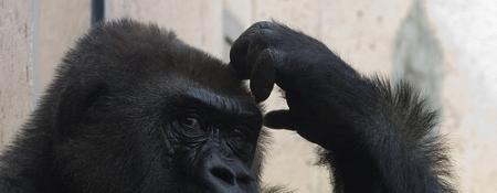 gorillascratchinghead